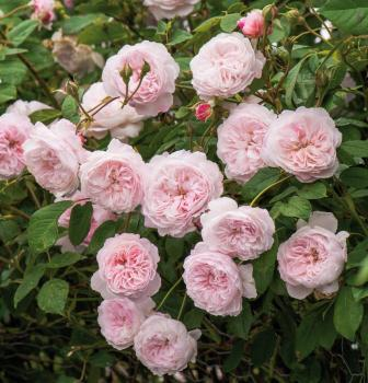 The Albrighton Rambler  Ramblerrose