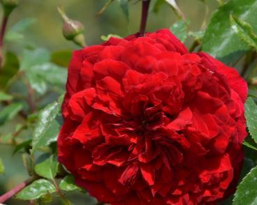 rosarot pflanzenversand rot. Black Bedroom Furniture Sets. Home Design Ideas
