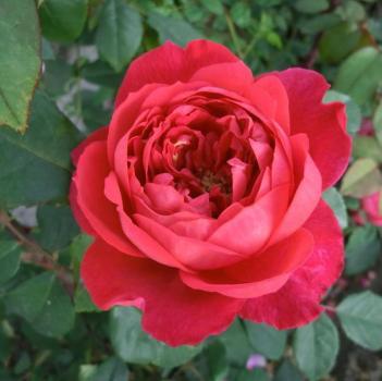 rosarot pflanzenversand englische rosen. Black Bedroom Furniture Sets. Home Design Ideas