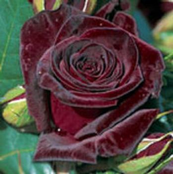 rosarot pflanzenversand edelrosen. Black Bedroom Furniture Sets. Home Design Ideas