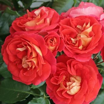rosarot pflanzenversand rosen mit nostalgisch. Black Bedroom Furniture Sets. Home Design Ideas