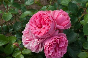 rosarot pflanzenversand meilland rosen. Black Bedroom Furniture Sets. Home Design Ideas
