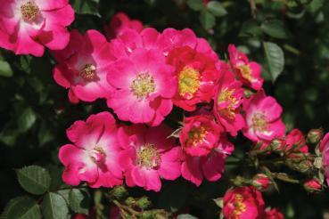 rosarot pflanzenversand rosen f r naturnahe g rten und. Black Bedroom Furniture Sets. Home Design Ideas