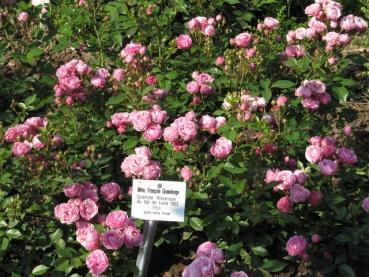 rosarot pflanzenversand historische rosen. Black Bedroom Furniture Sets. Home Design Ideas