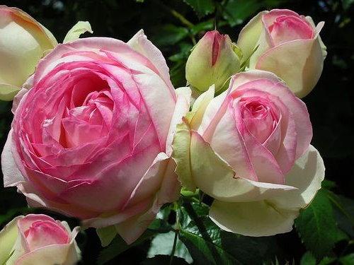 rosarot pflanzenversand eden rose 85 syn pierre de. Black Bedroom Furniture Sets. Home Design Ideas